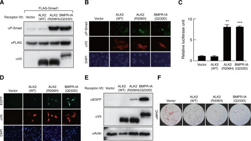 Constitutively activated ALK2 and increased SMAD1/5 cooperatively induce bone morphogenetic protein signaling in fibrodysplasia ossificans progressiva.