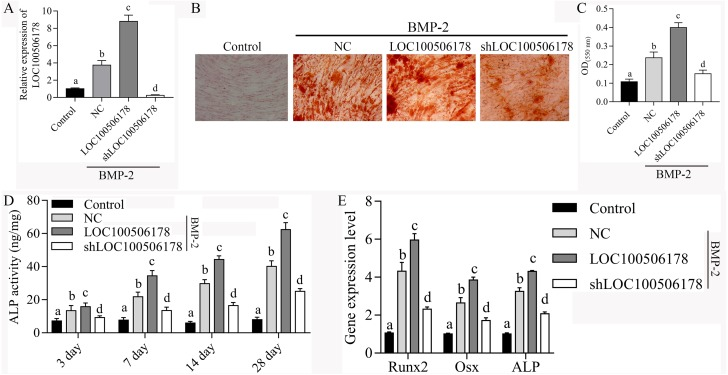 Is Dietary 2-Oxoglutaric Acid Effective in Accelerating Bone Growth and Development in Experimentally-Induced Intrauterine Growth Retarded Gilts?